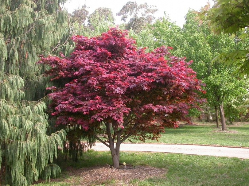 Japanse esdoorn acer palmatum atropurpureum for Arboles para jardin japones