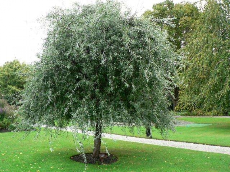 treursierpeer pyrus salicifolia pendula treurbomen. Black Bedroom Furniture Sets. Home Design Ideas